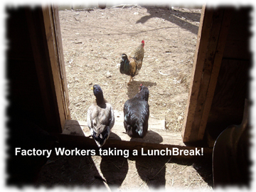 chicken break